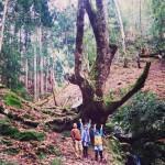古屋のトチの木。おおきい〜!